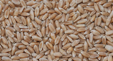 Organic Hard Red Winter Wheat | Products