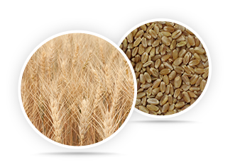 Hard White Wheat